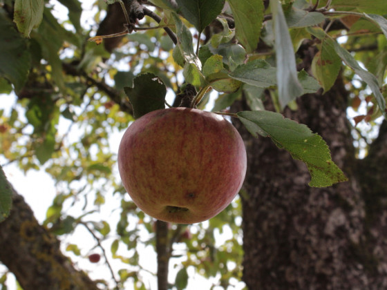 Apfel am Baum im Herbst