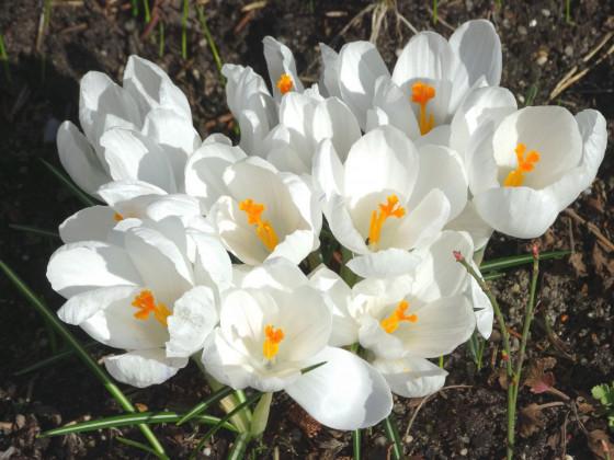 Frühlinsblüher