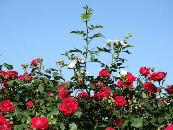 Scneeweißchen und Rosenrot