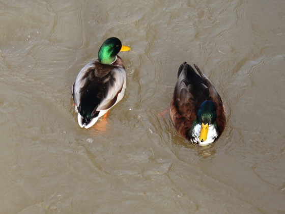 Enten in der Donau in Munderkingen